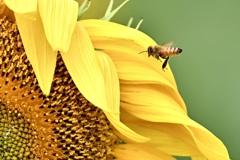 欲張りなミツバチ