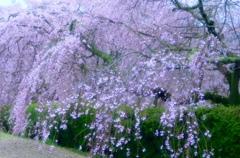 枝垂れ桜満開で〜す^ - ^