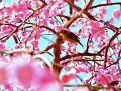 ピンク色に染まるメジロ君