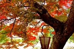 樹齢300年の楓