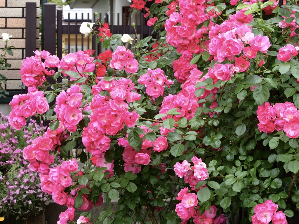 我が家の庭に咲くバラ