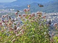 山中に舞う蝶
