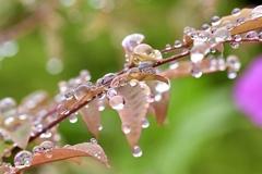 雨上がりの若葉2