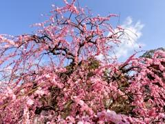 青空と枝垂れ梅