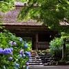 西の紫陽花寺
