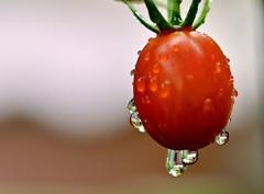 雨の中に映えるミニトマト