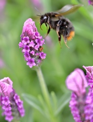 クマバチとラベンダー