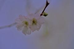 10月桜咲く