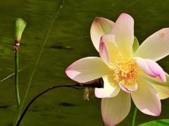 カラオケをするハスの花