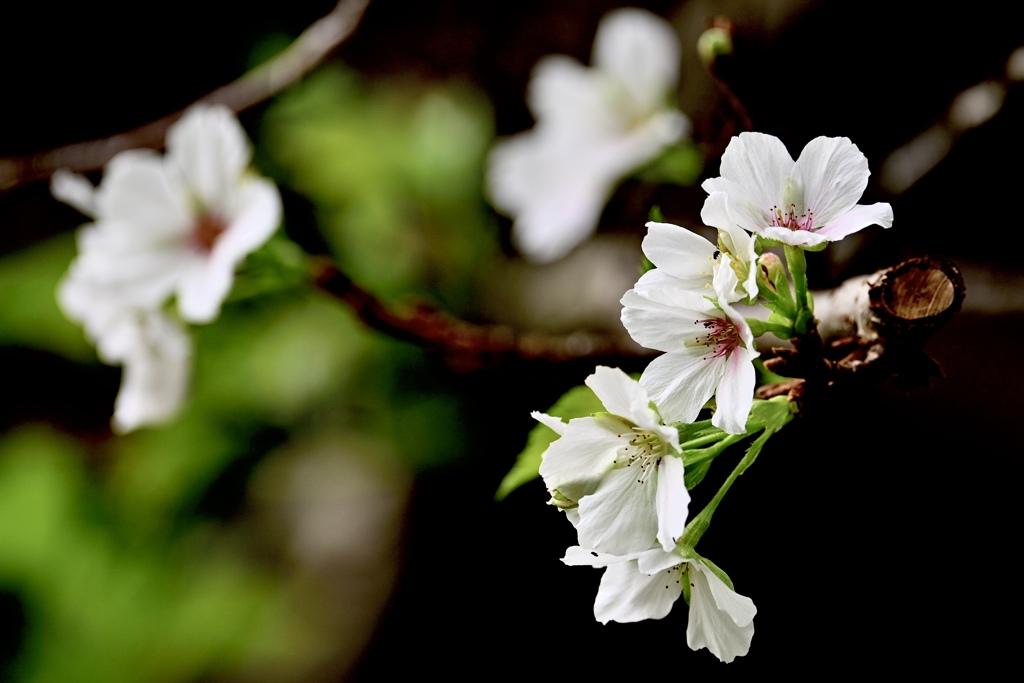 桜が咲きました〜( ◠‿◠ )