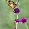 蝶のお仕事