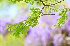 新緑と藤の花