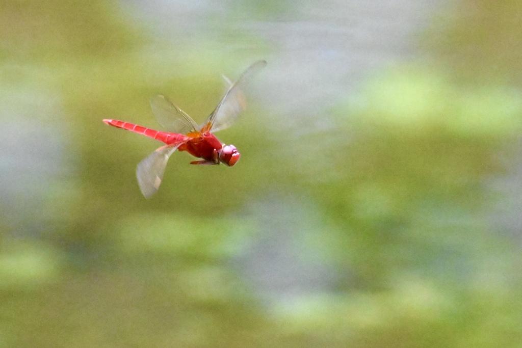 霞む蓮池を飛ぶトンボ