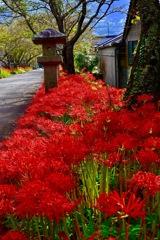 参道に咲く彼岸花