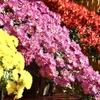 見事な懸崖菊