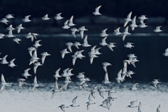 ハマシギ群れ飛ぶ