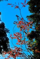 鮮やかに色づくハゼの木