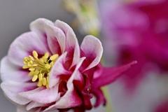 庭先に咲くオダマキ