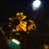 秋の夜のヒマワリ