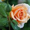 雨のおうち薔薇