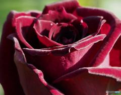 秋薔薇 ミステリアスな黒薔薇