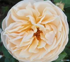 秋薔薇 香りとともに・・・