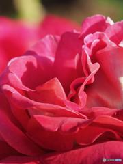 秋薔薇 情熱の赤