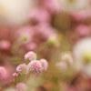花壇のヒメツルソバです。