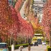 桂坂の並木。