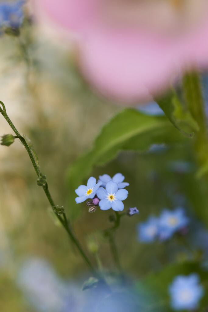 花壇の勿忘草です。