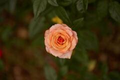 マンション花壇の薔薇です。