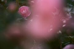ピンクに霞んで、