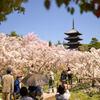 仁和寺の桜。