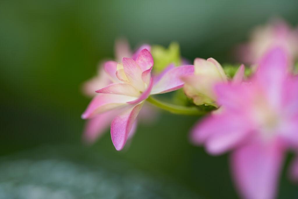 区役所花壇の紫陽花です。