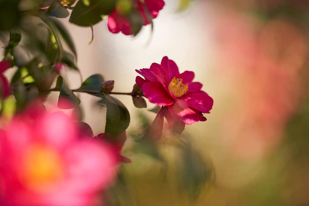 隣の公園の山茶花です。