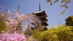 仁和寺のツツジと枝垂れ桜。