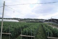 電照菊の畑