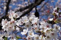 桜のある絵3