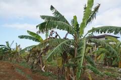 島バナナの畑