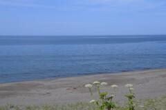ハマボウフウと海