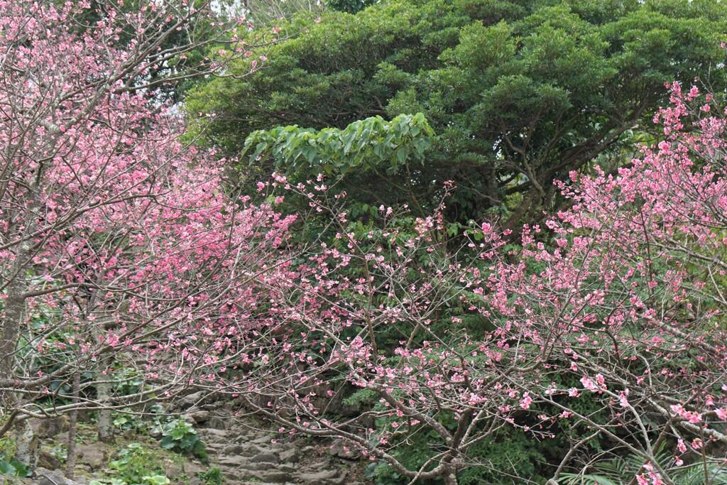 南国の桜1