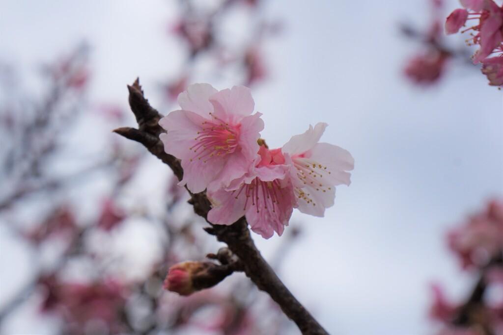 南国の桜2