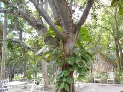 2016年キューバ4~バオバブの木