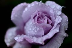 庭のバラ14