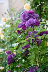庭のバラ12