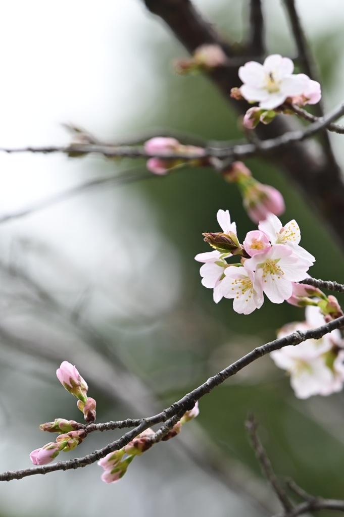 開花宣言  ♯2