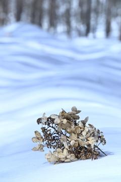 冬の蔓紫陽花