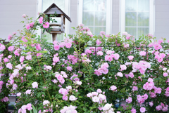 庭のバラ10