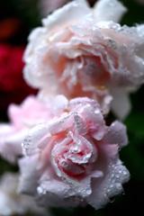 庭のバラ15
