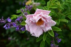 庭のバラ1
